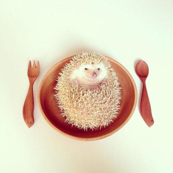 cute-hedgehog-darcy-darcytheflyinghedgehog-19
